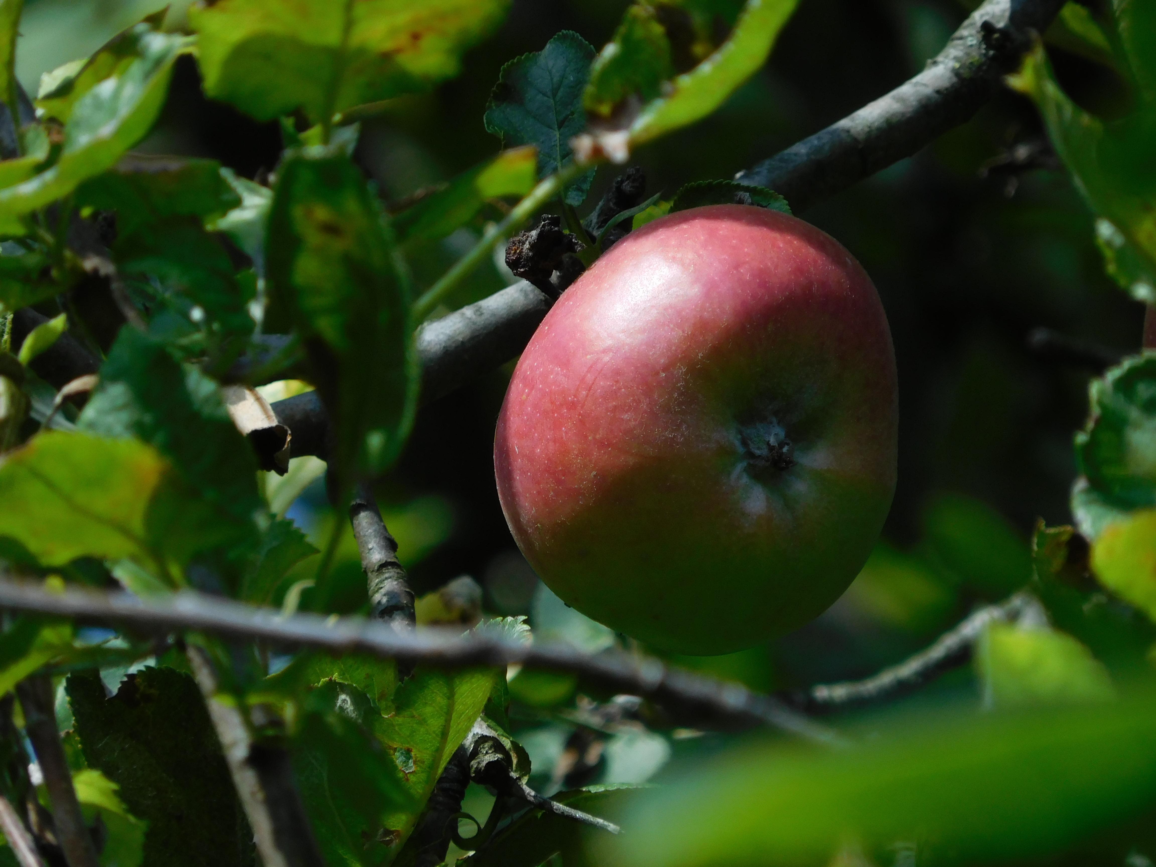 Co s jablky? Poradíme, co s bohatou úrodou jablek