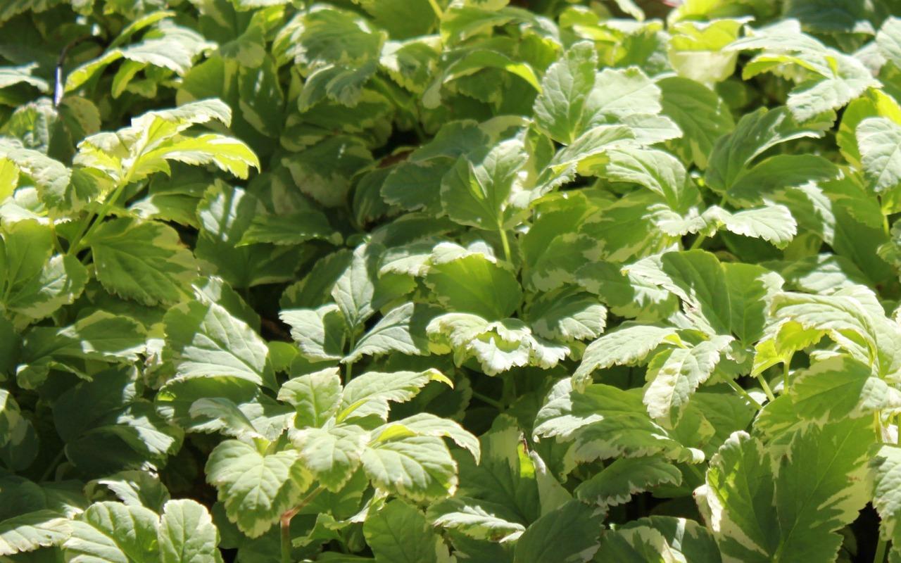 Zahradník radí: jak se zbavit bršlice