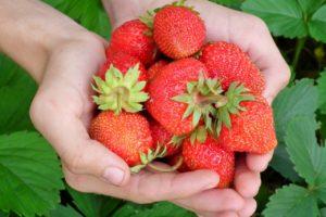 Jahody na balkoně – poradíme, jak na bohatou úrodu