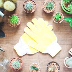 kaktusy, přesazování, pokojové rostliny