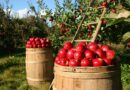 Co s přebytky ovoce? Sníst, moštovat, vypálit