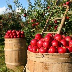 jablka v sadu