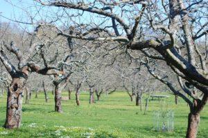 Zahrada na podzim. Jak správně prořezat ovocné stromy?