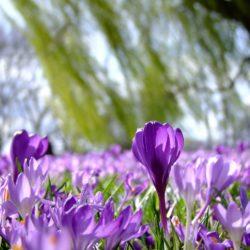 fialový krokus