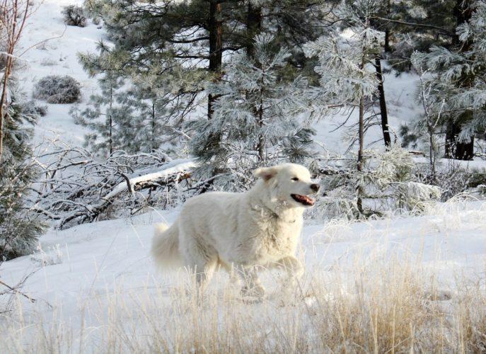 bílý pes na sněhu