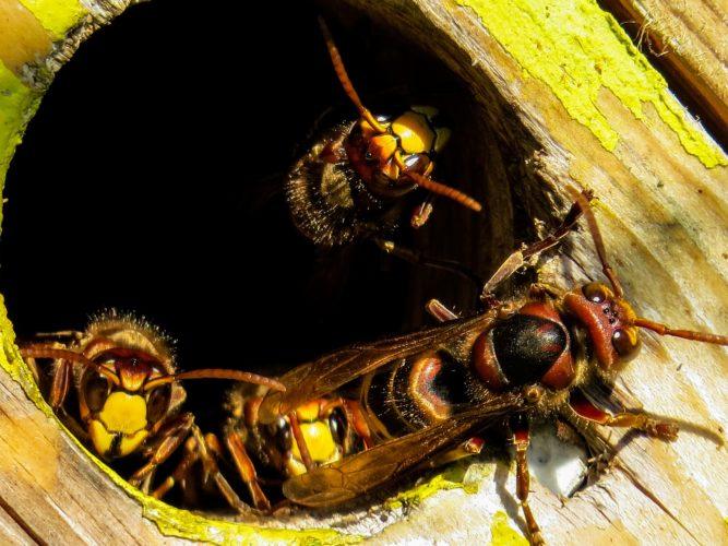 Sršni! Doma je rozhodně nechcete, ale na zahradě loví další hmyz