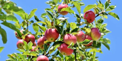 Choroby a škůdci umí pěkně zkazit radost při sklízení úrody. Jaké choroby ovocným stromům hrozí?