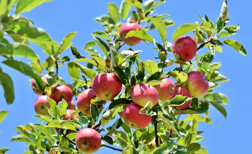 Choroby a škůdci ovocných stromů. Jak se s nimi vypořádat?